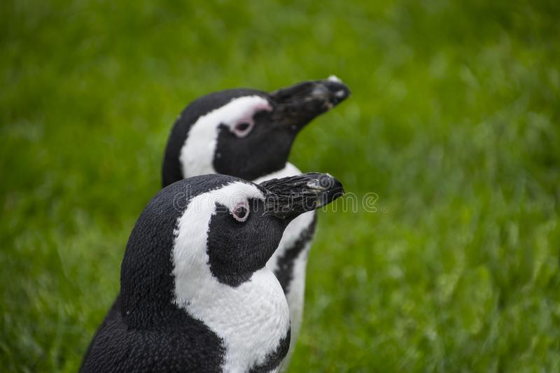 Magellan Penguins are a group of aquatic, flightless birds living almost exclusively stock photography
