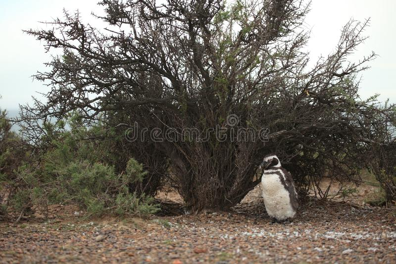 Magellan penguins Punta Tombo στην Αργεντινή στοκ φωτογραφίες με δικαίωμα ελεύθερης χρήσης