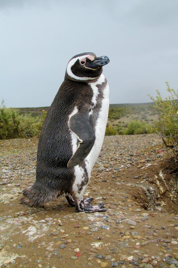 Magellan Pinguin stockfotos