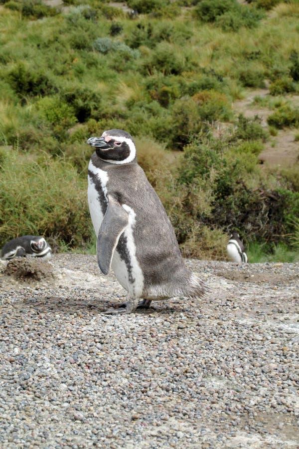 Magellan Pinguin lizenzfreies stockfoto