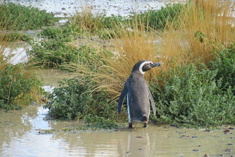 Magellan-Pinguin in einem Sumpf lizenzfreie stockfotos