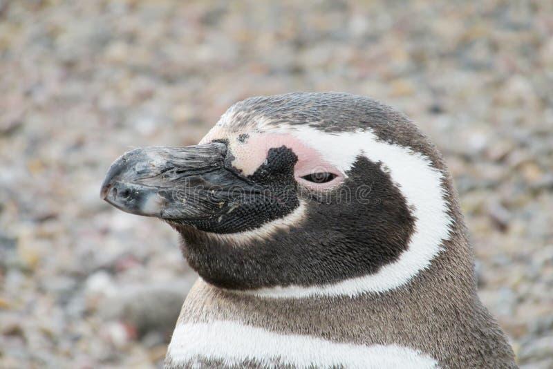 Magellan pinguin portret royalty-vrije stock afbeeldingen