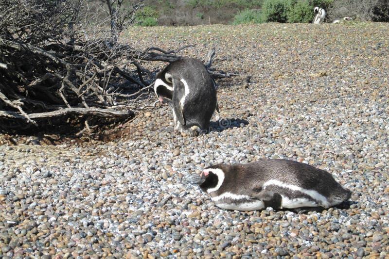 Magellan Pinguine lizenzfreie stockfotos