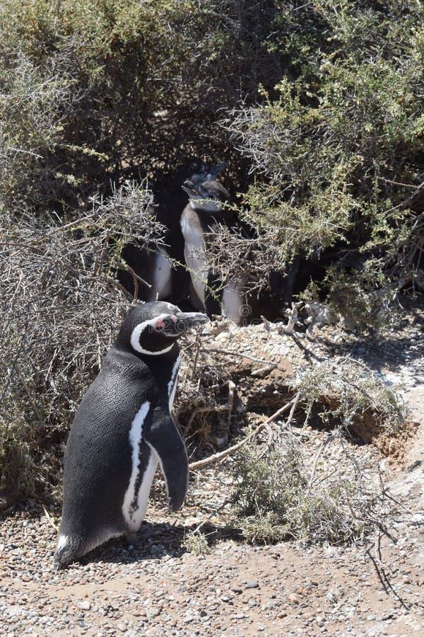 Magellan-Pinguine, die auf dem Strand sich putzen stockfoto
