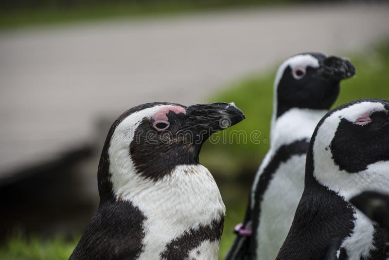 Magellan pingvin är en grupp av vatten- flightless fåglar som nästan exklusivt bor royaltyfria foton