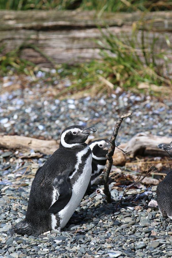 Magellan pingvin på Tucker Island patagonia chile royaltyfria bilder