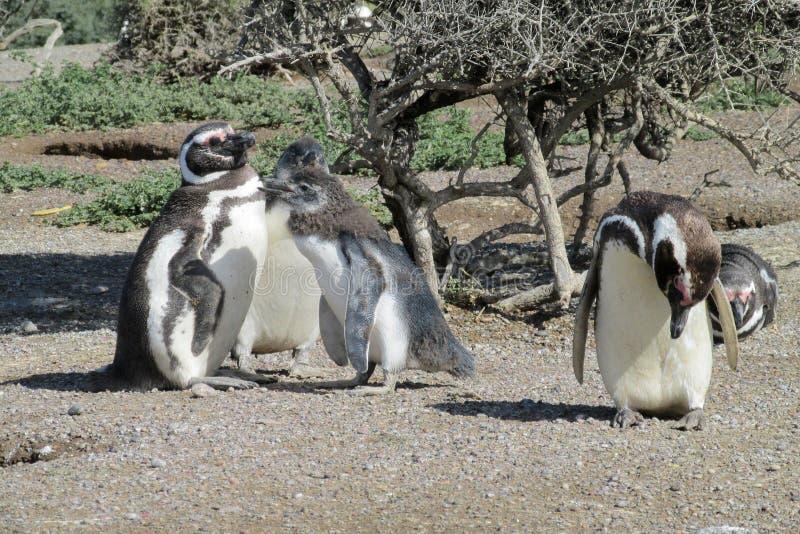 Magellan pingvinkoloni royaltyfri bild