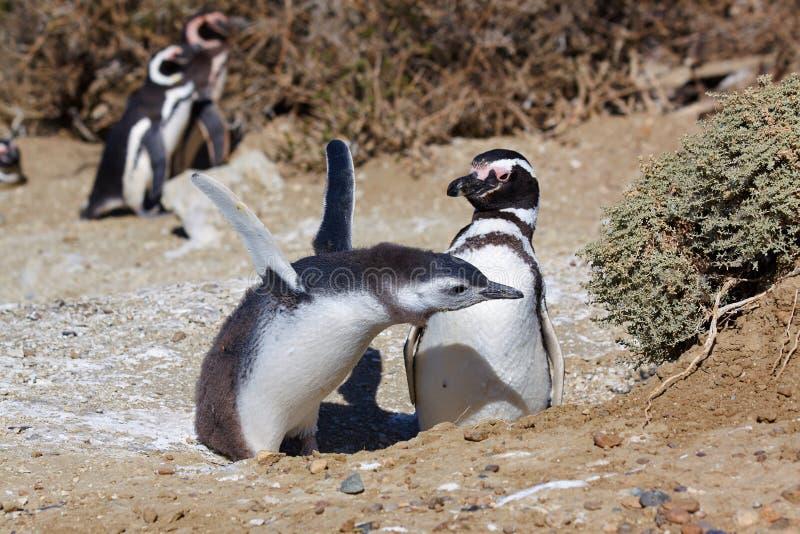 magellan pingwiny zdjęcie stock