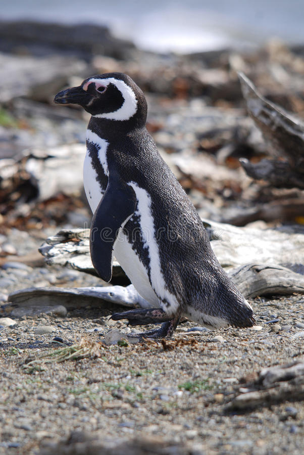 magellan pingwiny obraz royalty free
