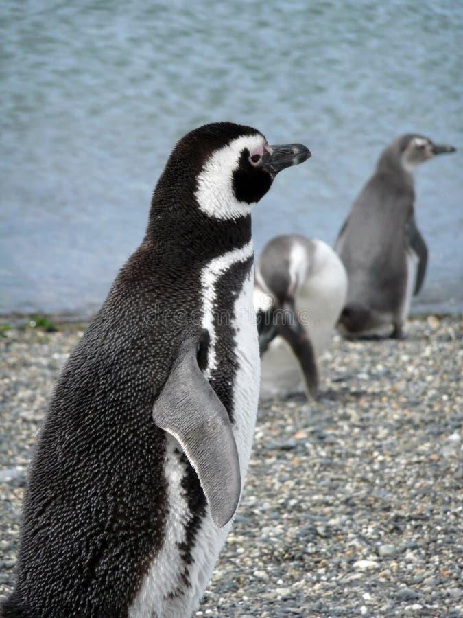 magellan pobliski patagonia pingwinów ushuaia fotografia stock