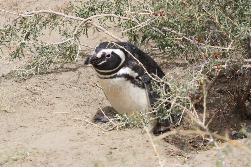 magellanic企鹅 图库摄影