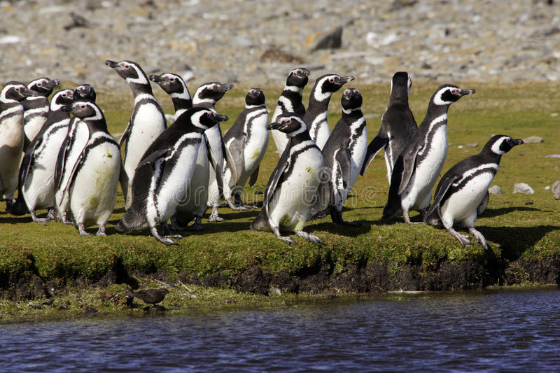 magellanic пингвины стоковое изображение rf
