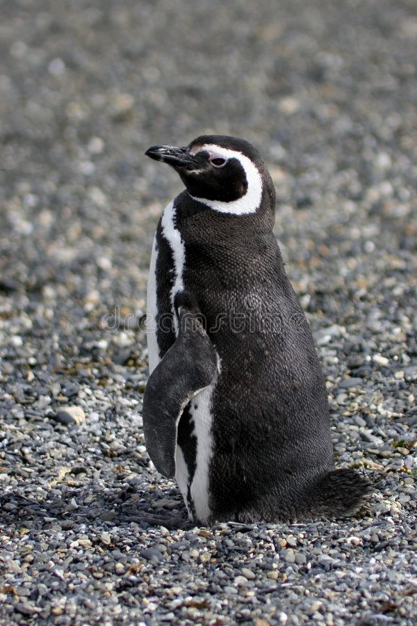 magellanic пингвин стоковое фото rf