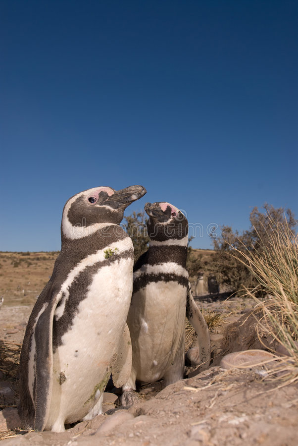 magellanic patagoniapingvin arkivfoton
