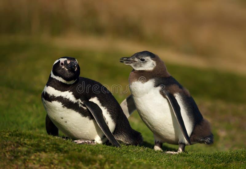Magellanic penguin με έναν νεοσσό που περπατά στη χλόη στοκ φωτογραφία