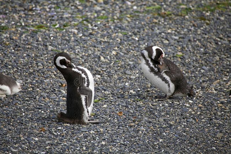 Magellanic penguin στην παραλία στο νησί στο κανάλι λαγωνικών, Αργεντινή στοκ φωτογραφίες με δικαίωμα ελεύθερης χρήσης