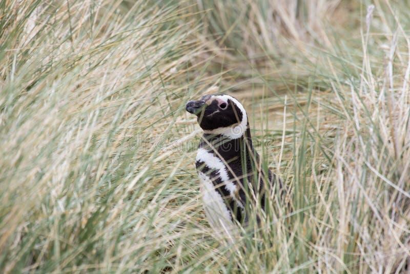 magellanic penguin στοκ εικόνες