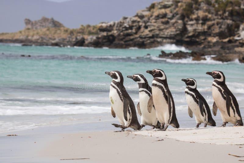 magellanic penguin στοκ εικόνα με δικαίωμα ελεύθερης χρήσης