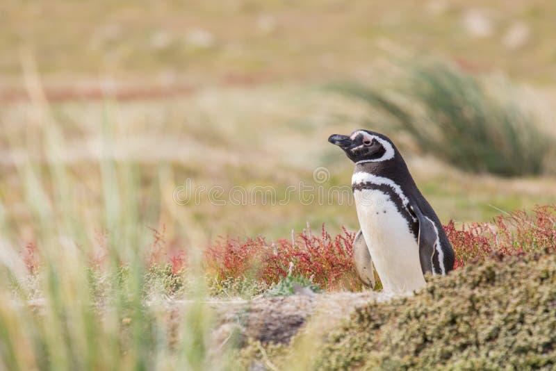 magellanic penguin στοκ φωτογραφία