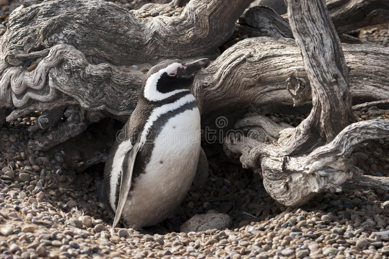 Magellanic penguin in its protected nest royalty free stock photos