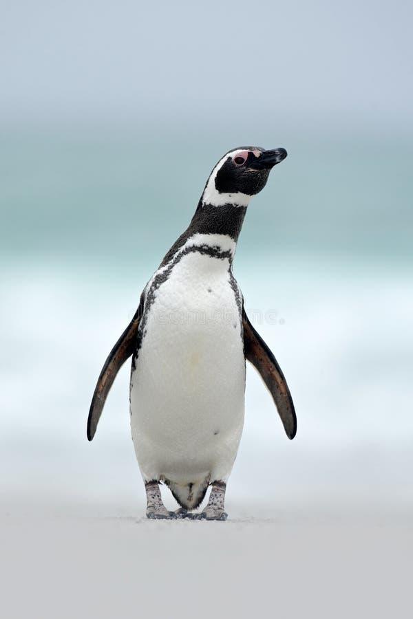 Magellanic penguin, magellanicus Spheniscus, στην άσπρη παραλία άμμου, ωκεάνιο κύμα στο υπόβαθρο, Νήσοι Φώκλαντ στοκ εικόνες με δικαίωμα ελεύθερης χρήσης