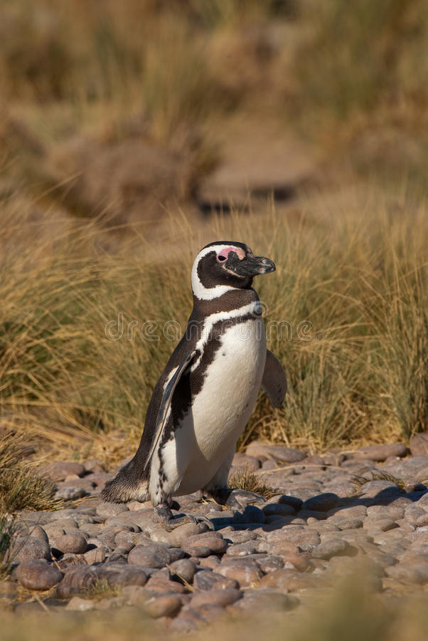 Download Magellanic Penguin In Patagonia Stock Image - Image: 11980989