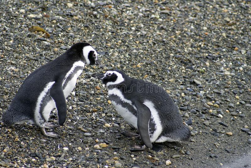 Magellanic penguins performing a mating display on a rocky island near Ushuaia, Argentina stock image