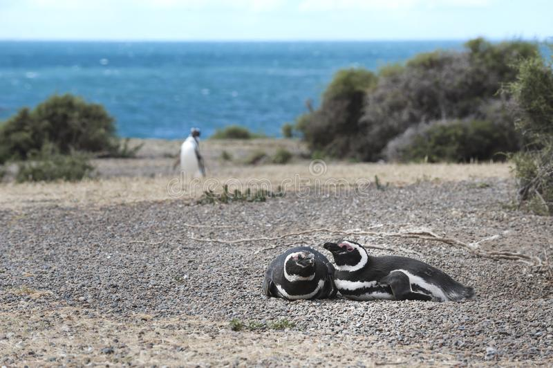Magellanic penguin in the Valdes Peninsula. In the Valdes Peninsula are present several colonies of magellanic penguins, mainly located in Punta Tombo and stock images