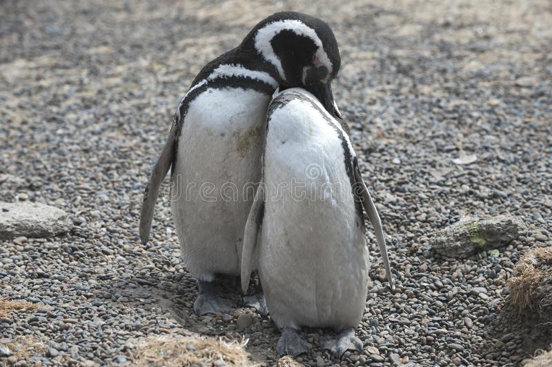 Magellanic penguin in the Valdes Peninsula. In the Valdes Peninsula are present several colonies of magellanic penguins, mainly located in Punta Tombo and stock photos