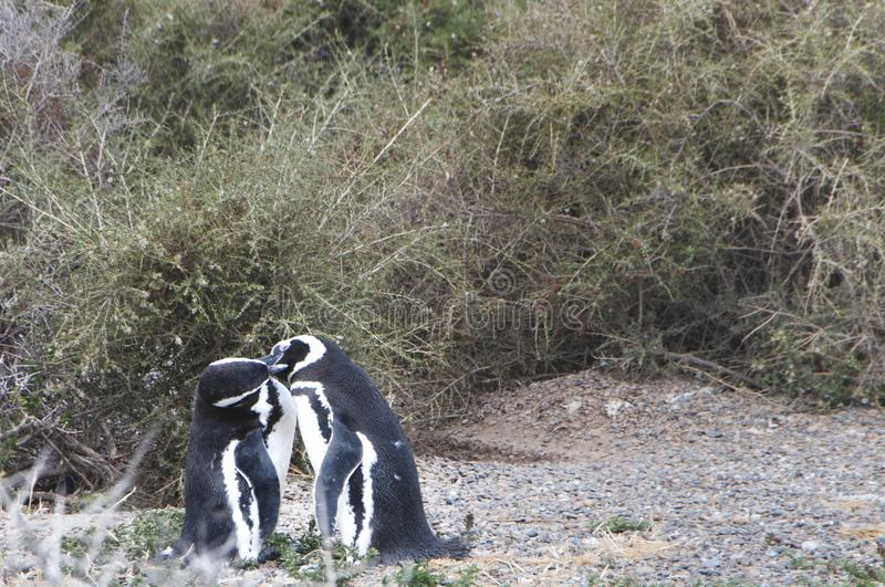 Magellanic penguin in the Valdes Peninsula. In the Valdes Peninsula are present several colonies of magellanic penguins, mainly located in Punta Tombo and royalty free stock photos