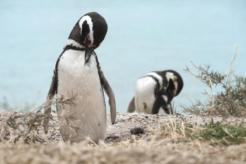 Magellanic penguin in the Valdes Peninsula. In the Valdes Peninsula are present several colonies of magellanic penguins, mainly located in Punta Tombo and royalty free stock images