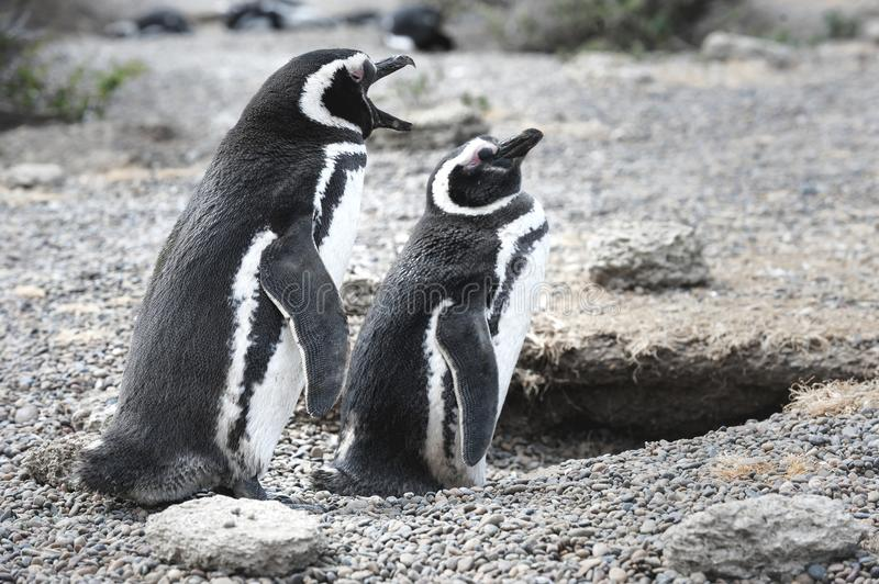Magellanic penguin in the Valdes Peninsula. In the Valdes Peninsula are present several colonies of magellanic penguins, mainly located in Punta Tombo and stock photography