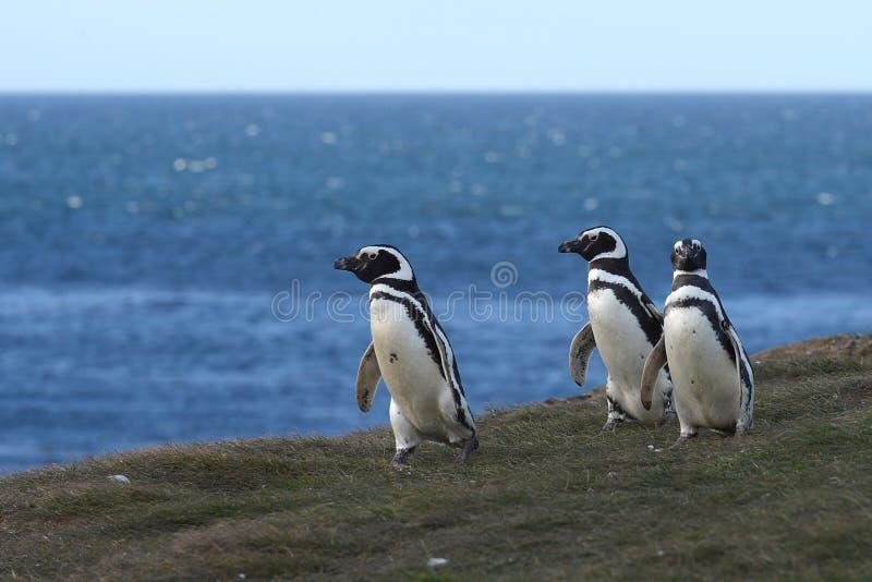 Magellanic Penguins στο άδυτο penguin στη Magdalena Island στο στενό Magellan κοντά σε Punta AR στοκ εικόνα με δικαίωμα ελεύθερης χρήσης