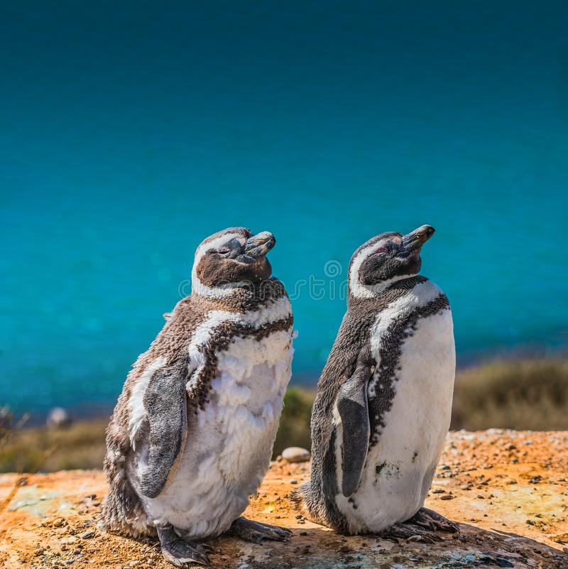 Magellanic penguins guarding their nest, peninsula Valdes, Patagonia stock photography