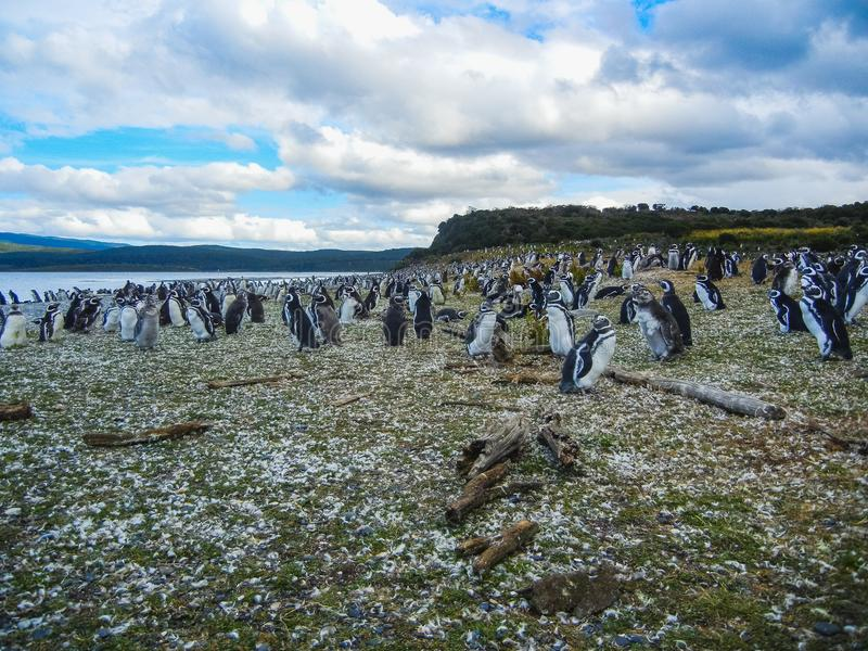 The magellanic penguins on the islands of tierra del fuego patagonia royalty free stock photo