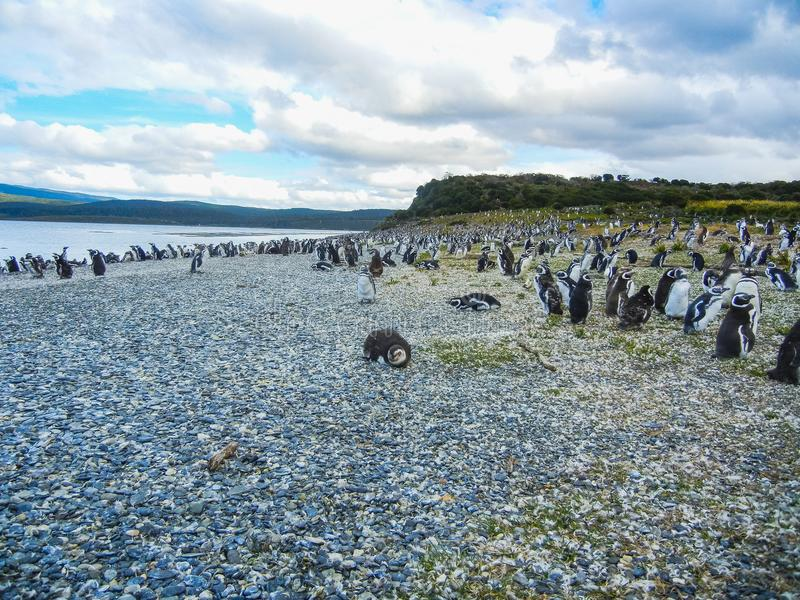 The magellanic penguins on the islands of tierra del fuego patagonia stock image