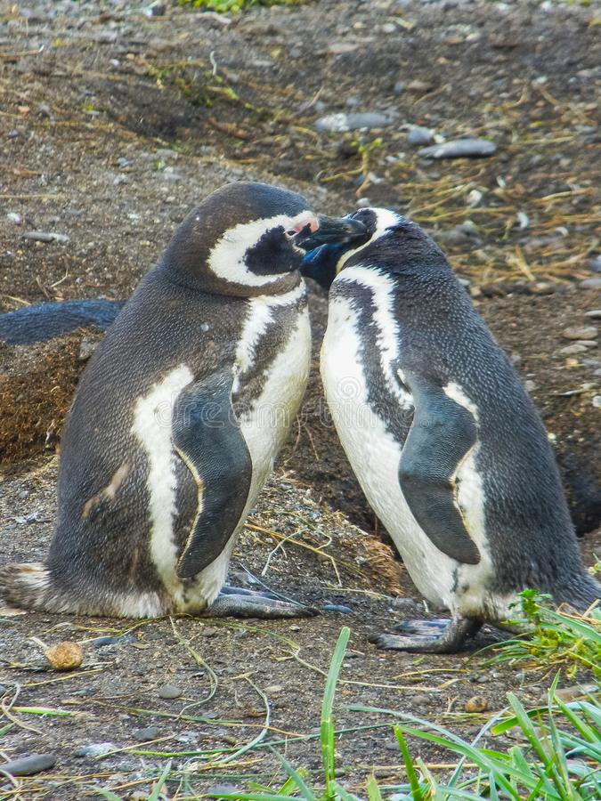 Magellanic penguins on the islands of tierra del fuego patagonia royalty free stock images