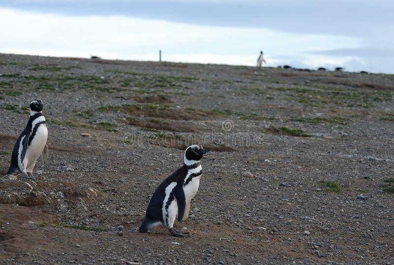 Magellanic Penguins (magellanicus Spheniscus) στο άδυτο penguin στη Magdalena Island στοκ φωτογραφία με δικαίωμα ελεύθερης χρήσης
