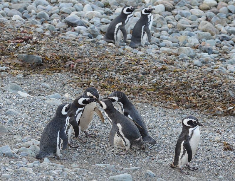 Magellanic Penguins (magellanicus Spheniscus) στο άδυτο penguin στη Magdalena Island στοκ εικόνες