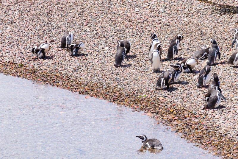 Magellanic penguins. Punta Tombo penguin colony, Patagonia stock photo
