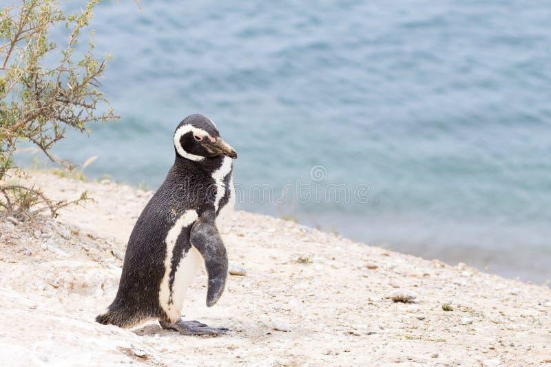 magellanic pingvin Caleta Valdes pingvinkoloni, Patagonia, Argentina arkivbild