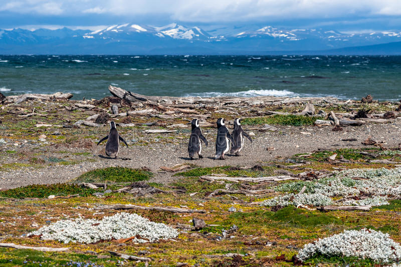 Magellanic pingvin i den naturliga miljön - Seno Otway pingvin royaltyfria foton