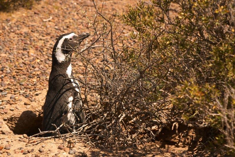 Magellanic Pingvin I Patagonia Arkivbild