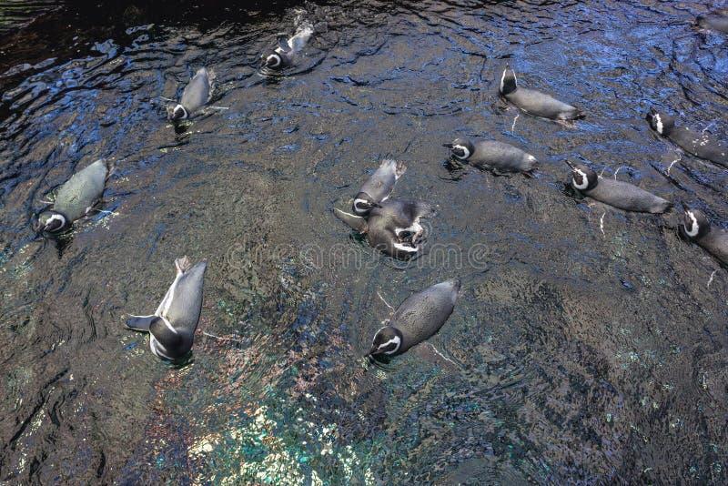 Magellanic pingvin i vatten arkivbilder
