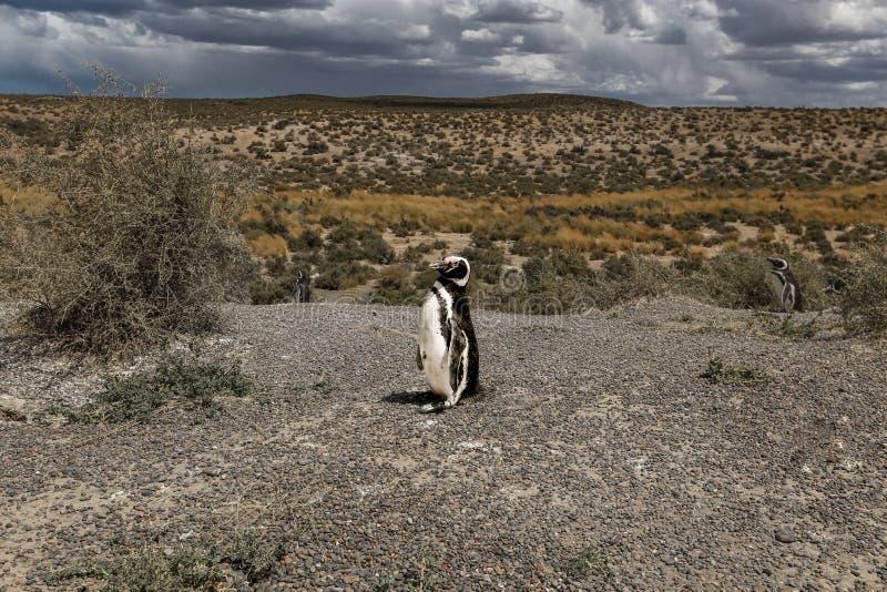 Magellanic pingwin, Atlantyk wybrzeże, Patagonia obrazy stock