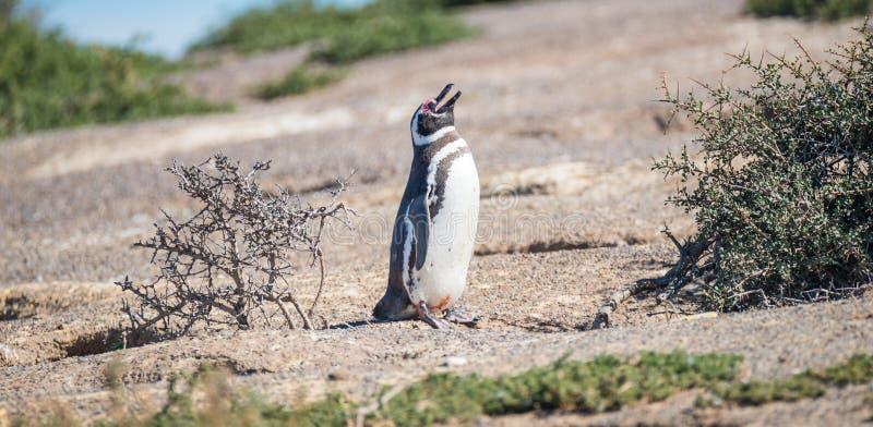 Magellanic pingwin przy gniazdeczkiem, Punta Tombo, Patagonia obrazy stock