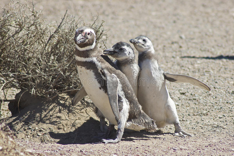 Magellanic Pingwin, Punta Tombo, Argentyna obrazy royalty free