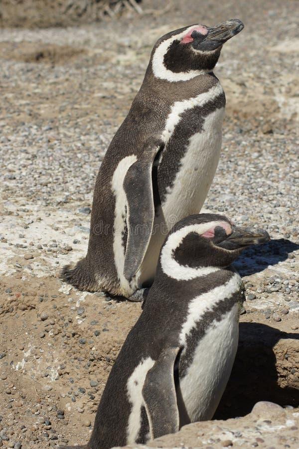 Magellanic Pingwin, Punta Tombo, Argentyna zdjęcie royalty free