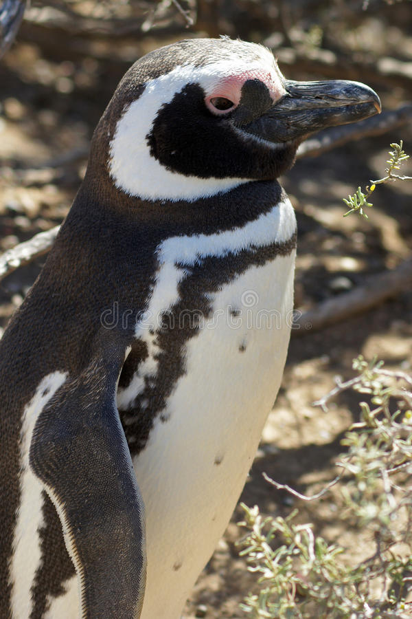 Magellanic Pingwin, Punta Tombo, Argentyna zdjęcia royalty free