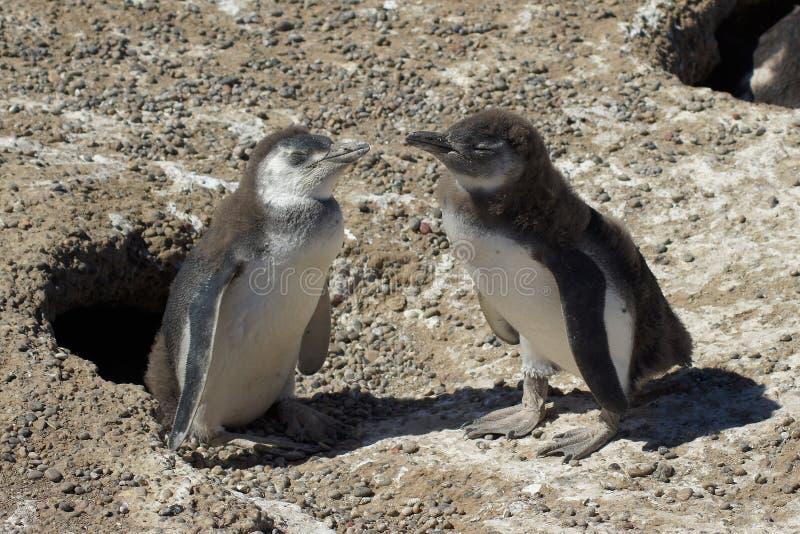 Magellanic Pingwin, Punta Tombo, Argentyna obraz royalty free